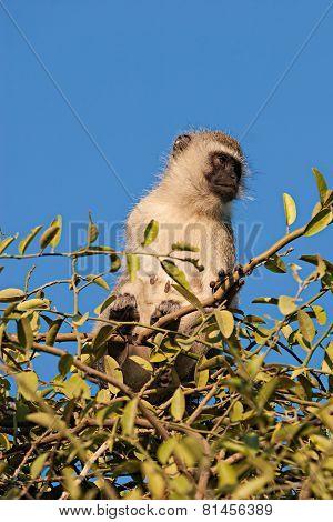 Black Faced Vervet Monkey