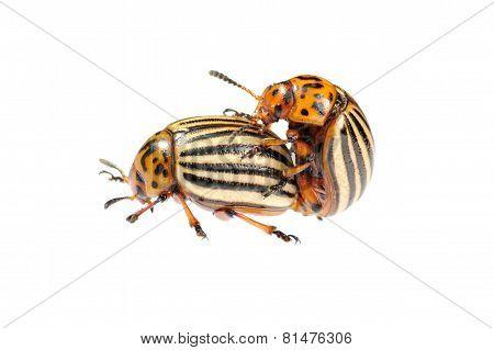 Two Conjugating Colorado Bugs
