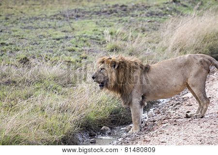Male African Lion Standing