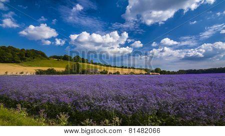 Purple Flax Field In Hampshire