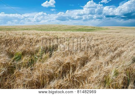Wheat Fields in August