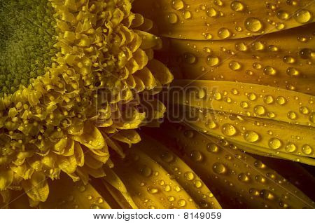 Dew On A Yellow Gerbera