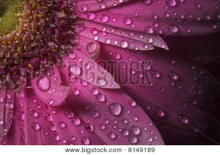 Dew On A Pink Gerbera