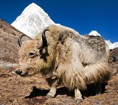 Yak on the way to Everest base camp and mount Pumo ri - Nepal poster