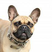 Dog French Bulldog on a white background poster