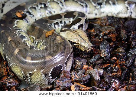 Blood Python (python Curtus)