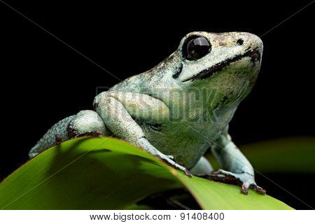 poison arrow frog, poisonous animal Phyllobates terribilis from the tropical amazon rain forst of Colombia