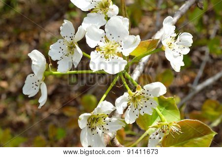 Sunny Picture Of Wild Pear Blossoms