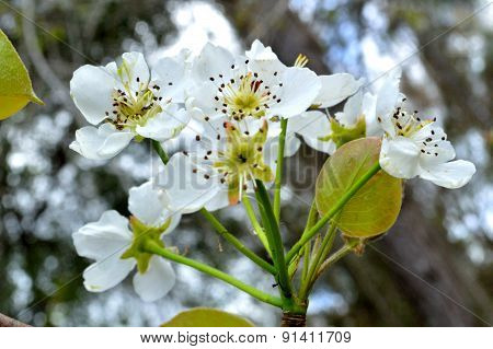 Wild Pear Blossoms And Trees Above In Woods