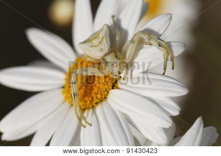 Close up white spider.