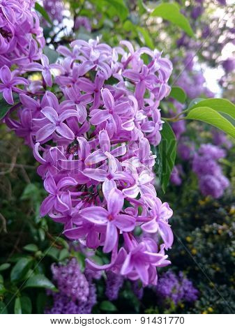 The Flowers Of The Purple Lilacs