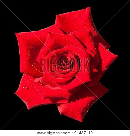 Red Rose Flowerhead Isolated On Black Background