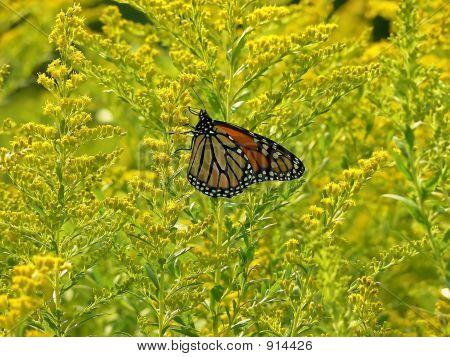 Butterfly.  40027
