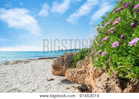 Pink Flowers By The Shore In Le Bombarde Beach