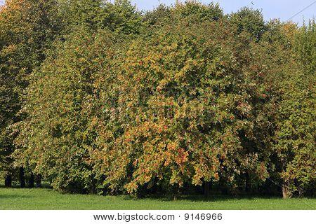 Rowan Tree In The Background