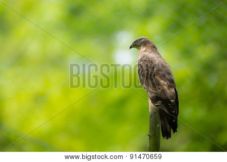 Majestic European honey buzzard perching on a dead tree against lush green background