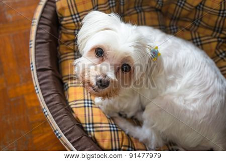 Close-up Portrait Of White Dog Staring While Lying On Bed