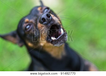 Miniature Pinscher barks and growls from anger.