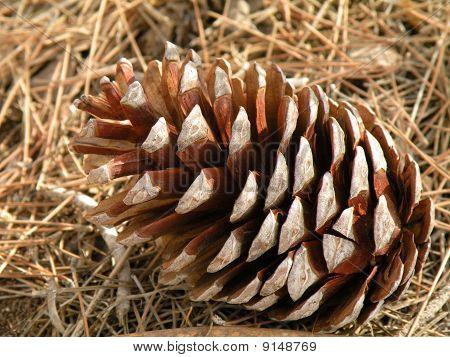 Cone Pine Needles On The Ground