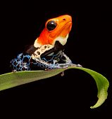 red head poison dart frog Ranitomeya fantastica tropical amphibian from Amazon jungle in Peru. Macro of a bright poisonous rainforest animal poster