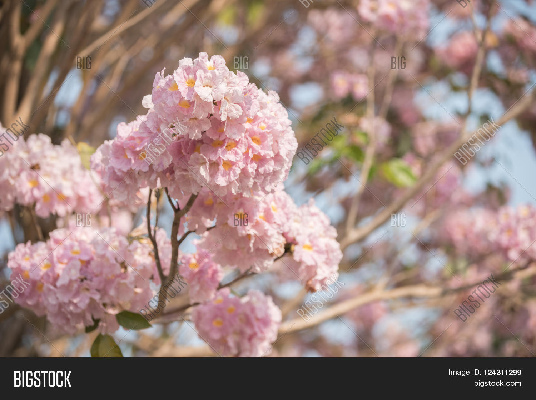 Tabebuia Rosea Pink Image Photo Free Trial Bigstock