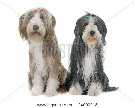 two bearded collie in front of white background