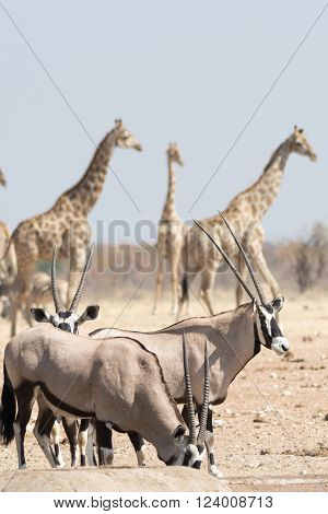 Gemsbok And Giraffe