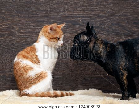 Cat and dog. Kitten white with red. Dog French Bulldog puppy. The dog is black. Relationship dog and cat. Animals looking at each other