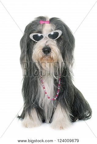 female bearded collie and glasses in front of white background