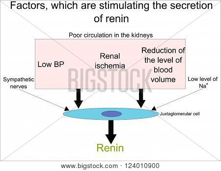 Factors, which are stimulating the secretion of renin