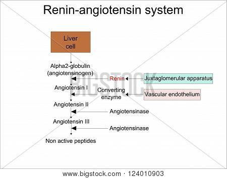 Scheme of the functioning of renin-angiotensin system