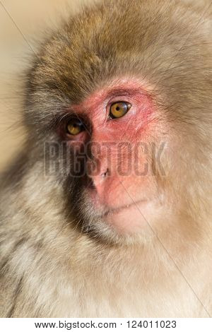 Lovely Japanese monkey