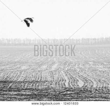 flying stork over the winter field