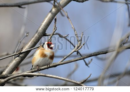 Perching Goldfinch (Carduelis carduelis) in early spring. Moscow region Russia