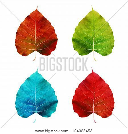 Colorful Pipal leaf, isolated on white background