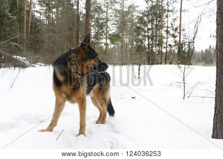 Dog on snow in winter day in witer day