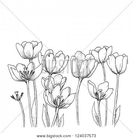 Holland tulips on a white background. Vector. Hand drawn artwork. Love concept for wedding invitations, cards, tickets, congratulations, branding, boutique logo, label. Gift for young girl and women