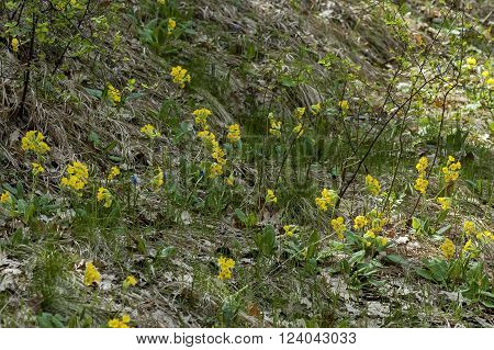 Glade with yellow cowslip at spring in mountain Balkan, Bulgaria