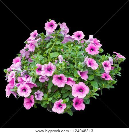 Pink petunia flowers isolated on black background.