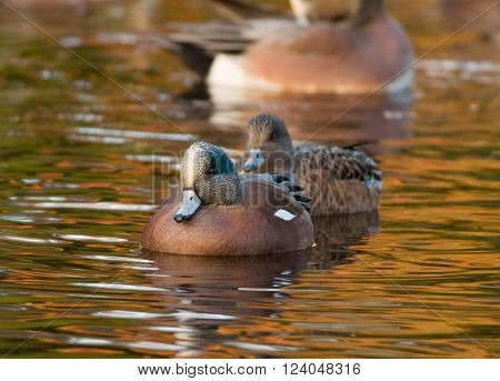 A beautiful male American Wigeon leads its mate across a pond reflecting the golden brilliance of autumn trees.