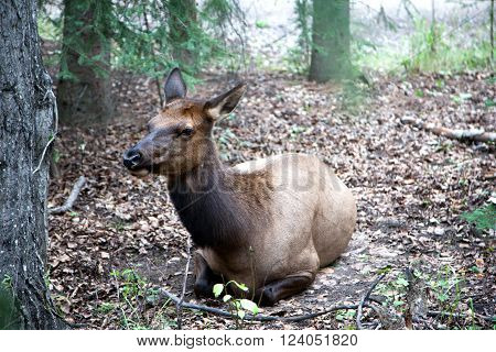 Close Up Of Female Elk Cow Resting In The Woods