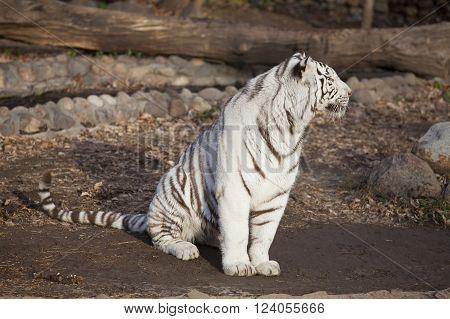 Closeup of a sitting calm white tiger