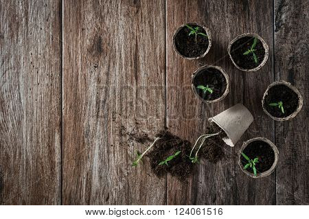 Planting young tomato seedlings in peat pots on wooden background. Agriculture, garden, homegrown food, vegetables, self-sufficient home, sustainable household concept. Copy space