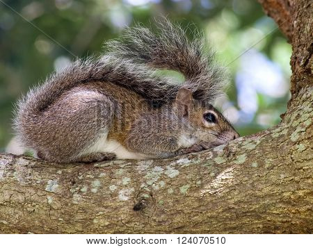 Sleepy Eastern Gray Squirrel resting on branch of a tree