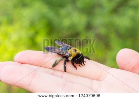 Carpenter bumble Bee sitting on a  hand