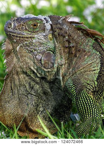 Extreme closeup of a molting Green Iguana in the grass displaying orange neck dewlap