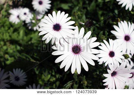 Beautiful White Flowers : Osteospermum White Flower Macro (Close-up)