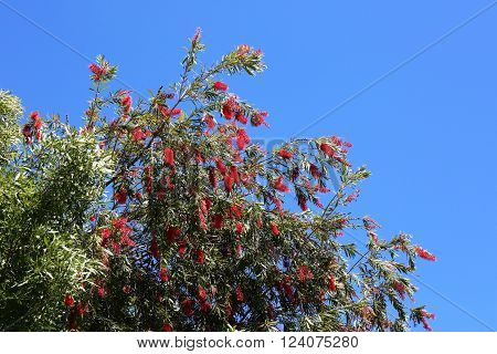 Bottle Brush Tree with Several Red Flower and Landscaping Design