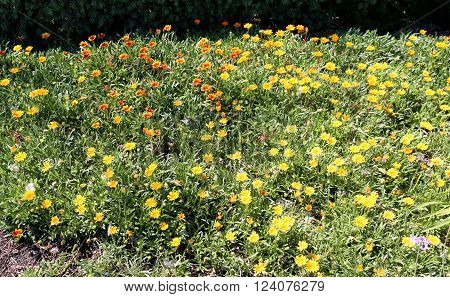 Colorful Spring Flowers Yellow and Orange Daisies