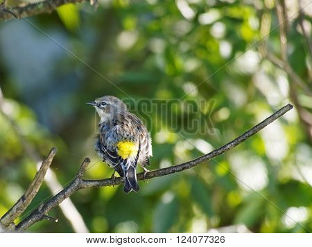 Read view of Yellow-rumped Warbler with full display of yellow and head turned sideways in profile